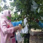 Kebun Petik Jambu Desa Kebaron Sidoarjo Layak Jadi Destinasi Wisata